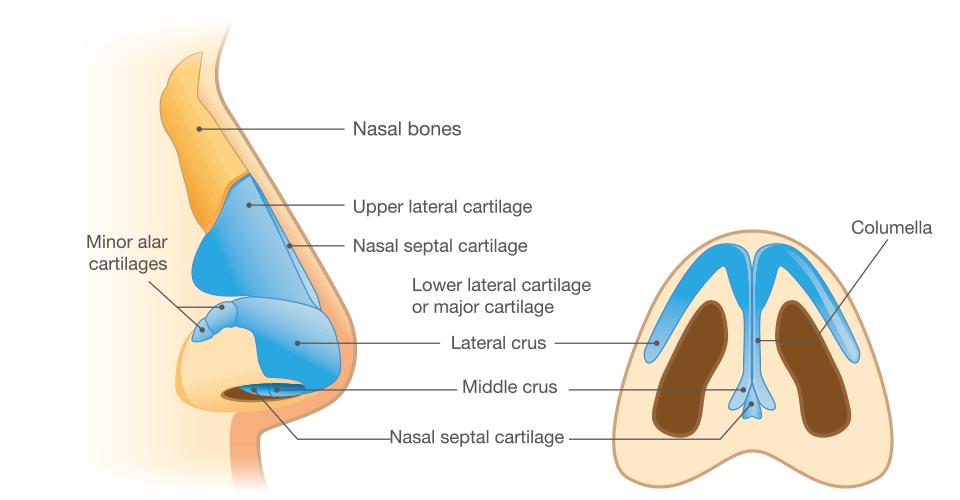 鼻部是整個視覺中心
