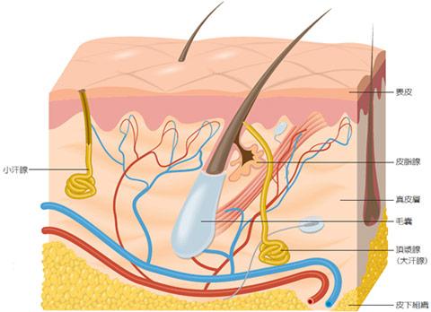 大汗腺又名頂漿腺